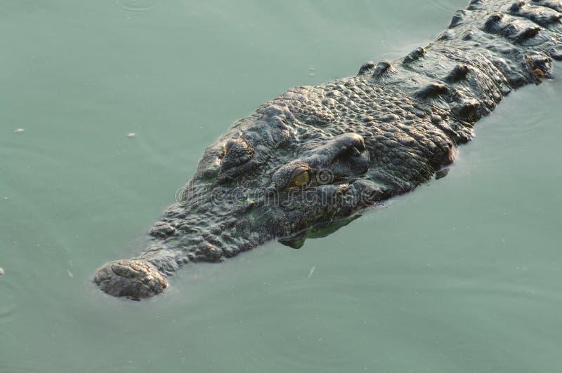 Plan rapproché du museau de l'alligator photo libre de droits
