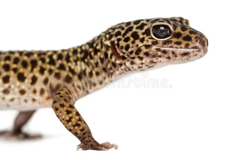 Plan rapproché du profil d'un gecko de léopard, macularius d'Eublepharis image libre de droits