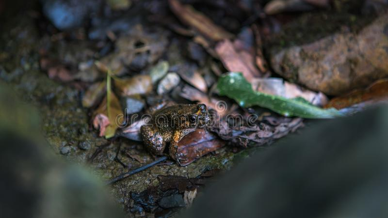 Plan rapproché du repos adulte de grenouille sur la roche avec des feuilles à la forêt de montagne de Taïwan images libres de droits