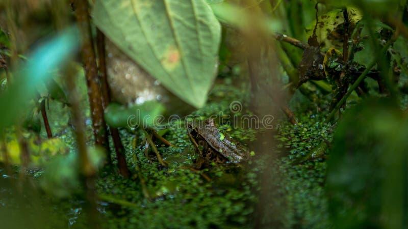 Plan rapproché du repos adulte de grenouille sur le bord de l'étang avec les feuilles végétales vertes à Taïwan photographie stock libre de droits