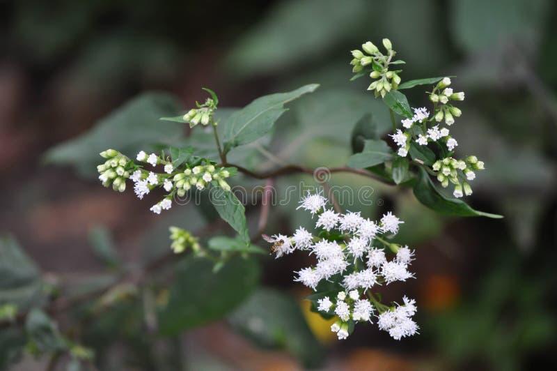 Plan rapproché du souffle du bébé de floraison blanc de fleurs photographie stock
