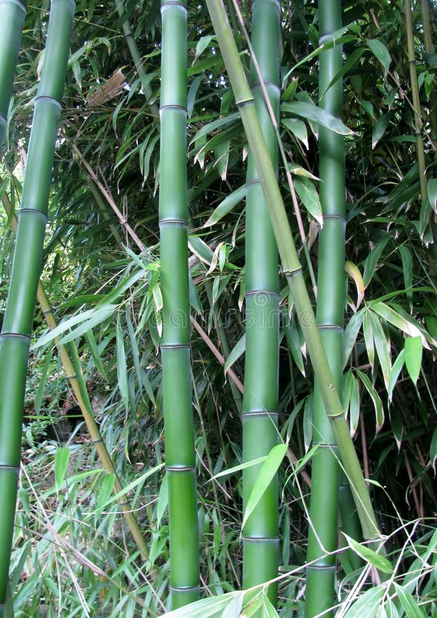 Plan rapproché en bambou vert géant image stock