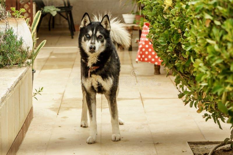 Plan rapproché enroué animal de visage de chien Beau portrait mignon d'animal familier photo libre de droits