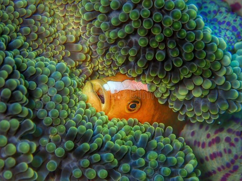 Plan rapproché et macro tir de clarkii d'Amphiprion, connus généralement comme anemonefish et clownfish à queue jaune de Clark pe photo libre de droits