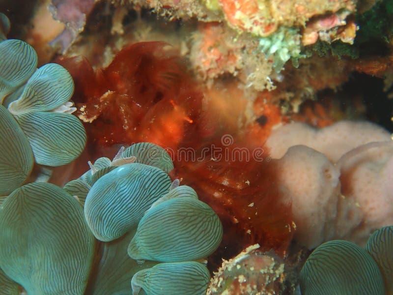 Plan rapproch? et macro tir de crabe utan d'orang-outan pendant le piqu? de loisirs dans Sabah, Born images libres de droits