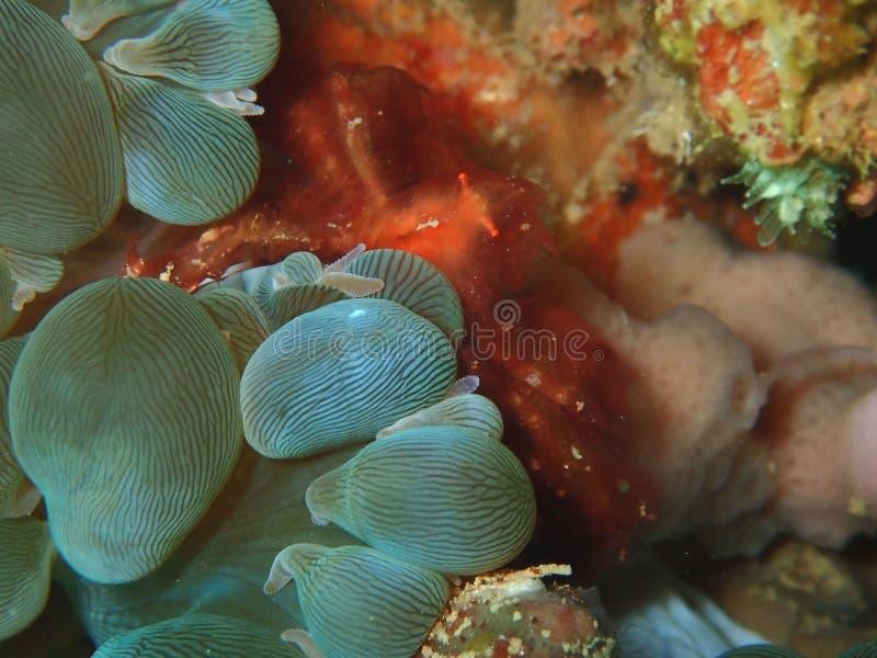 Plan rapproch? et macro tir de crabe utan d'orang-outan pendant le piqu? de loisirs dans Sabah, Born photo libre de droits