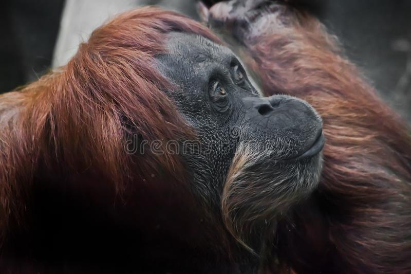 Plan rapproché flegmatique d'orang-outan de visage photos stock