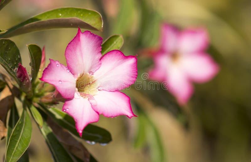 Plan rapproché - fleur rose, arbre d'obesum d'Adenium, désert Rose, lis d'impala, fausse azalée images libres de droits