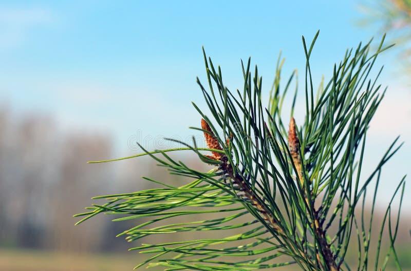Plan rapproché fleurissant de branches de pin de ressort photo stock