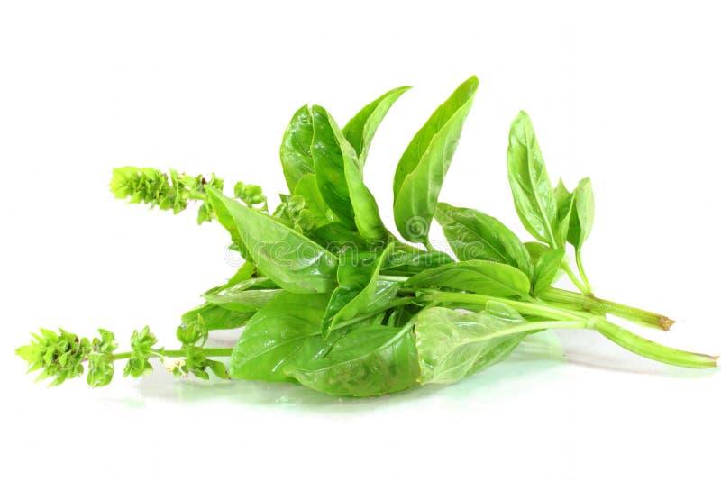Plan rapproché frais d'herbe de basilic images stock