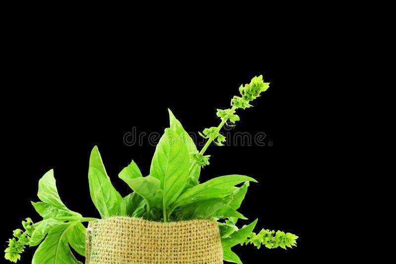 Plan rapproché frais d'herbe de basilic image stock