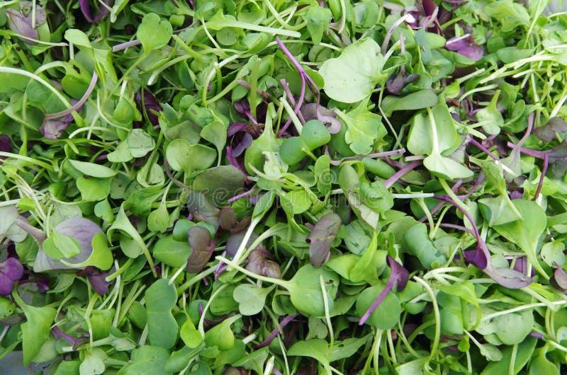 Plan rapproché frais de salade de microgreens de jardin photo libre de droits