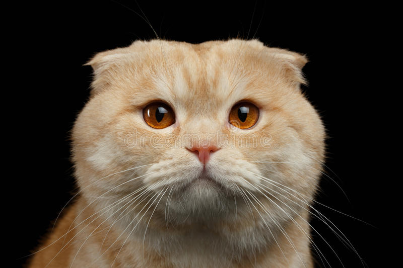 Plan rapproché Ginger Scottish Fold Cat Looking in camera d'isolement sur le noir photos libres de droits