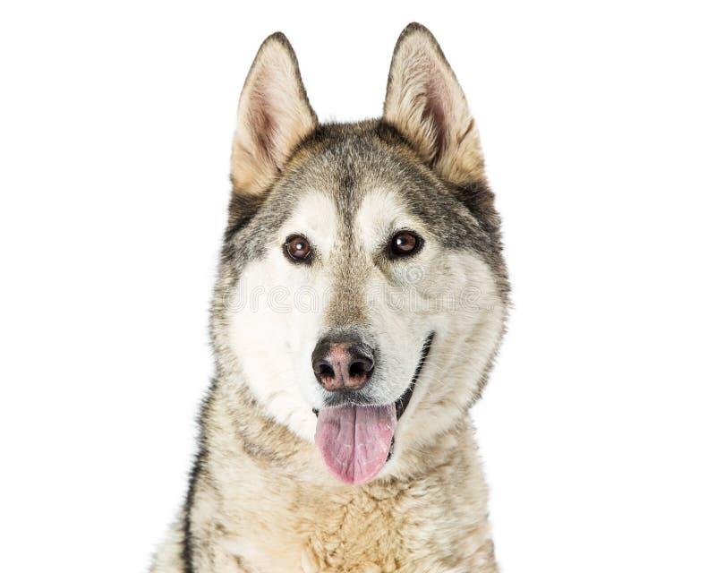 Plan rapproché grand Husky Dog image libre de droits