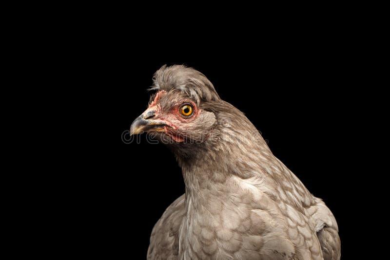 Plan rapproché Gray Chicken Head Curious Looks d'isolement sur le fond noir photographie stock