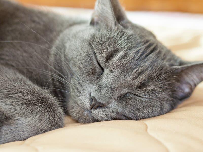 Plan rapproché gris de chat de sommeil Museau d'un chat de sommeil photographie stock libre de droits