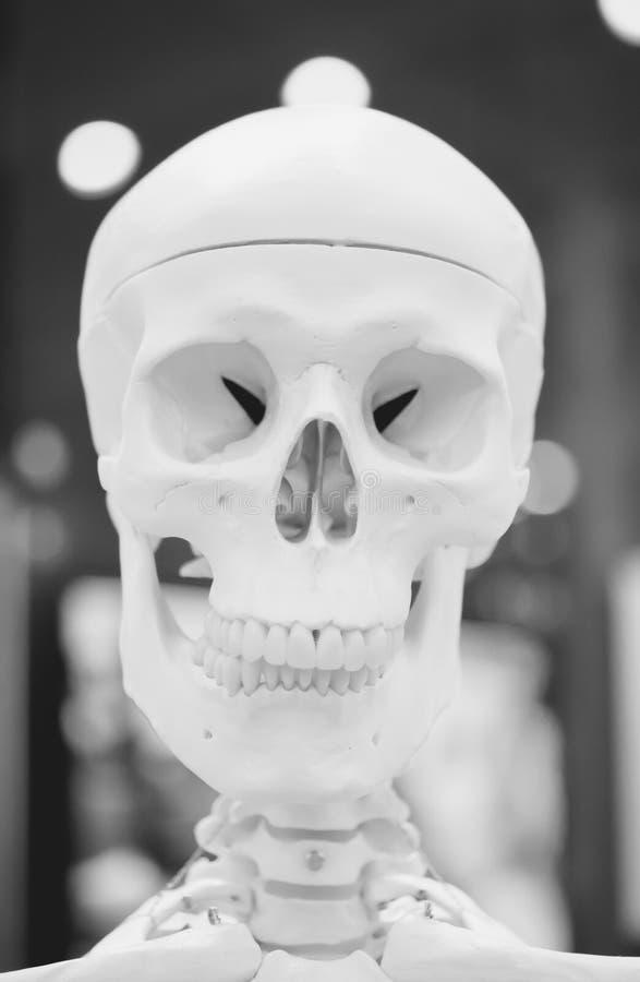 Plan rapproché humain de crâne de disposition factice, objet exposé médical image stock