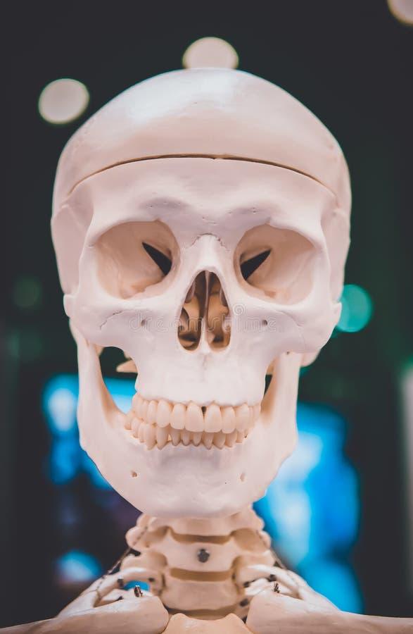 Plan rapproché humain de crâne de disposition factice, objet exposé médical photo libre de droits
