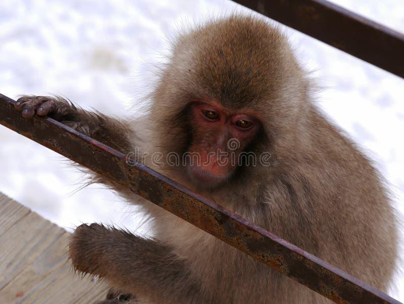 Plan rapproché japonais de singe photographie stock libre de droits