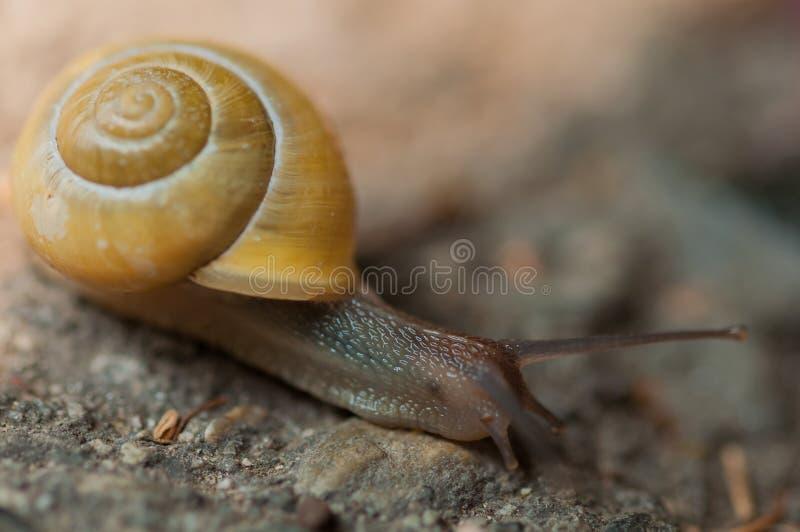 Plan rapproché jaune d'escargot photos libres de droits