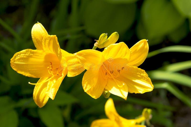 Plan rapproché jaune de fleur de jonquille avec le fond brouillé photos libres de droits