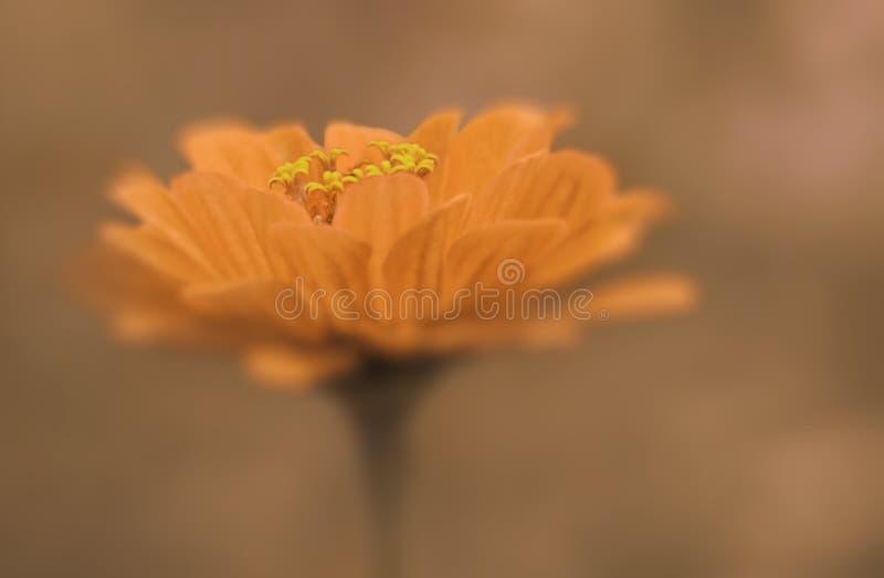 Plan rapproché jaune de fleur sur un fond brouillé brun clair Orientation molle photos stock