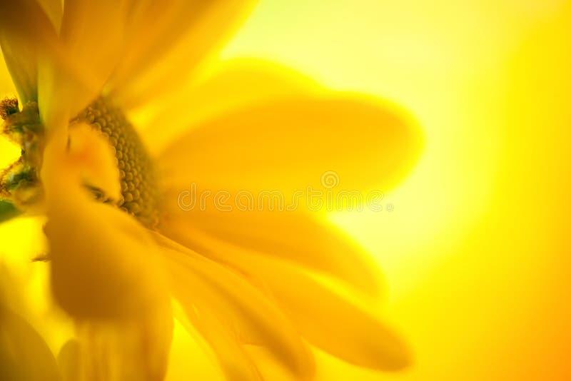 Plan rapproché jaune de marguerite image libre de droits