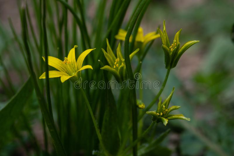 Plan rapproché jaune de ressort de fleur photos libres de droits