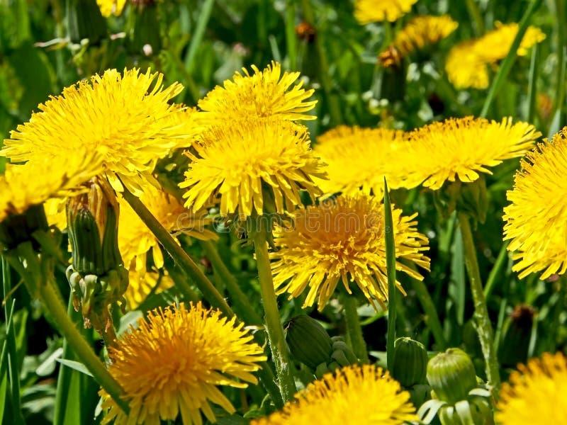 Plan rapproché jaune lumineux de pissenlits sur un fond naturel vert brouillé pittoresque photographie stock