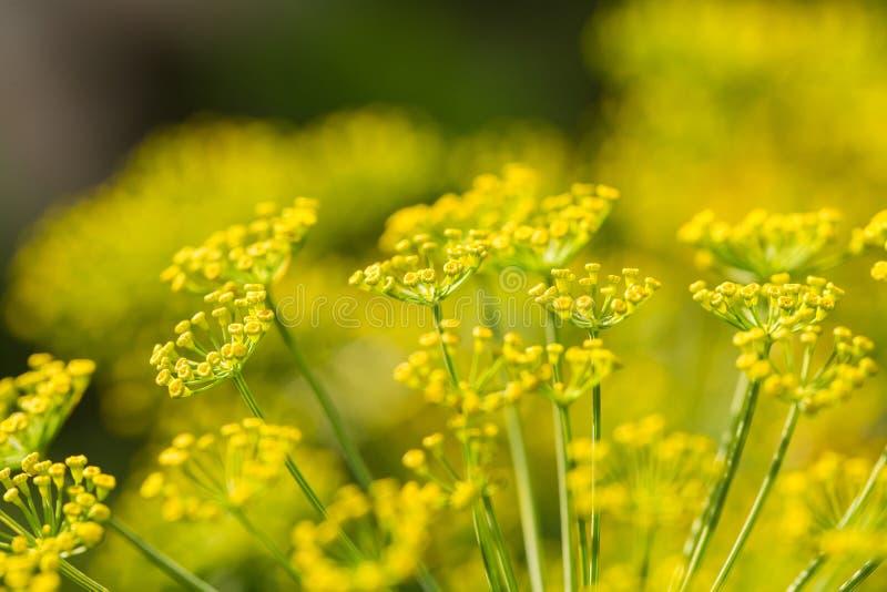 Plan rapproché lumineux de fleur d'aneth Aneths fleurissant dans le jardin en été Bonne épice pour la nourriture photographie stock