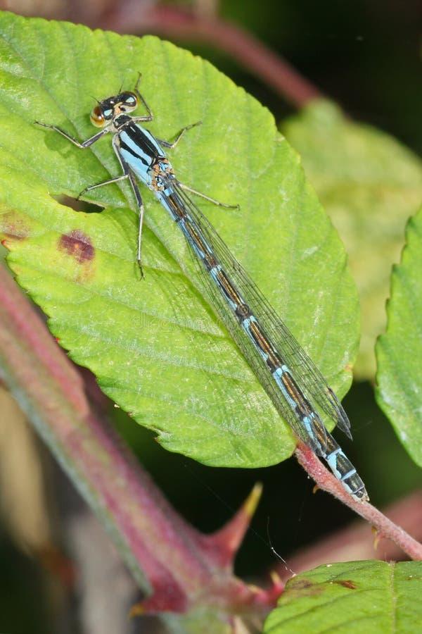 Plan rapproché, macro photo d'une libellule photos stock