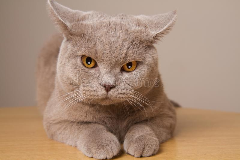 Plan rapproché malheureux de chat britannique de shorthair, regardant directement l'appareil-photo ses oreilles dans différentes  photos stock