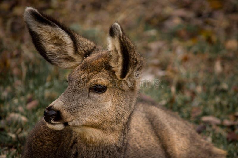 Plan rapproché mignon de daine de cerfs communs de mule photos stock