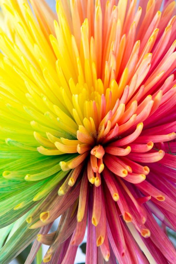 Plan rapproché multicolore de fleur de crysanthemum images libres de droits
