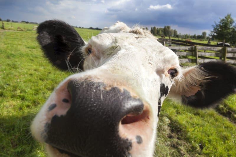 Plan rapproché néerlandais de tête de vache photos stock