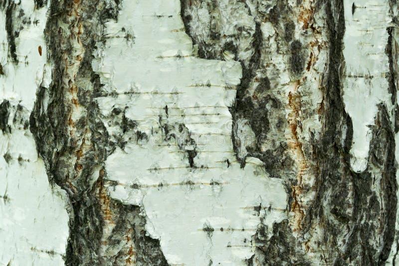 Plan rapproché naturel de fond d'écorce de bouleau photo libre de droits