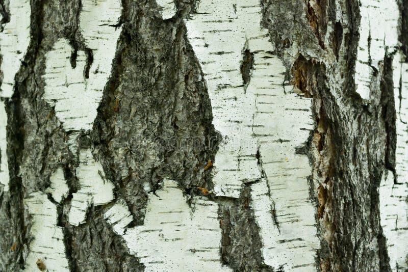 Plan rapproché naturel de fond d'écorce de bouleau photographie stock