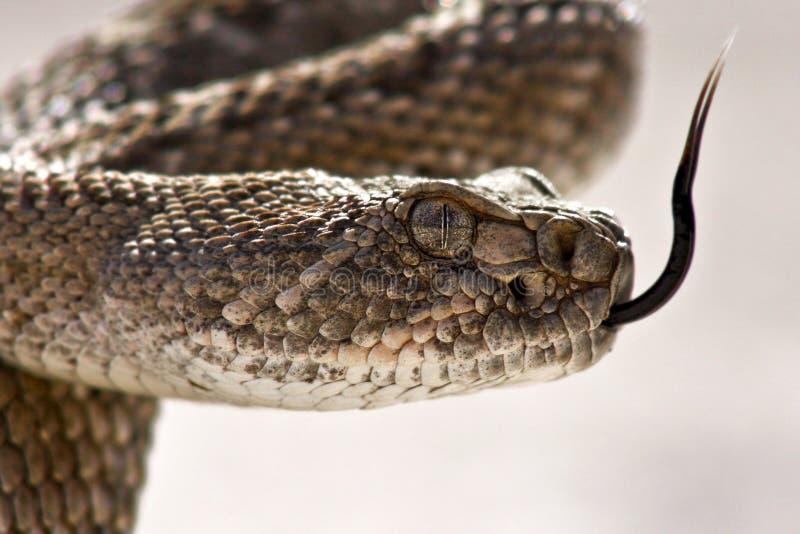 Plan rapproché occidental de serpent à sonnettes de dos en forme de losange photographie stock