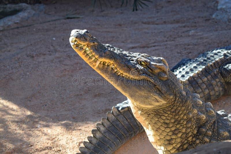 Plan rapproché principal de crocodile au zoo, à la bouche et aux dents image libre de droits