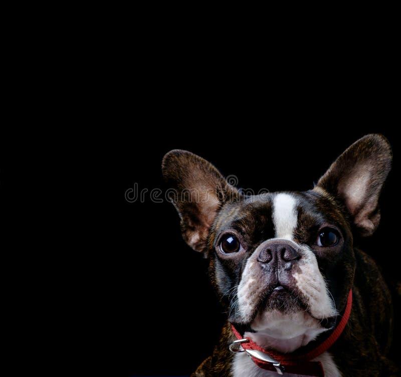 Plan rapproché pur de fond de noir de race de terrier de Boston de portrait photos stock