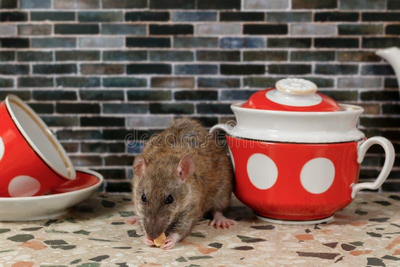 Plan rapproché que le rat mange et regarde la caméra près du sucrier sur la partie supérieure du comptoir la cuisine dans une mai image stock