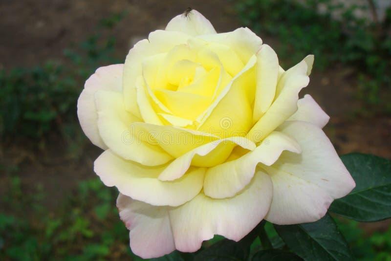 Plan rapproché rose blanc avec la mouche images stock