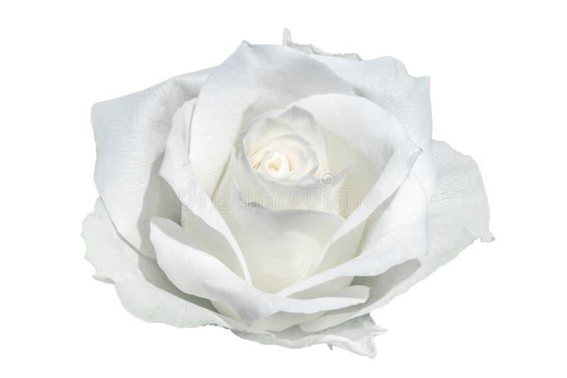Plan rapproché rose de blanc photographie stock libre de droits