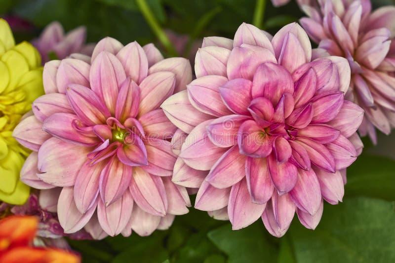 Plan rapproché rose de deux fleurs de dahlia image libre de droits