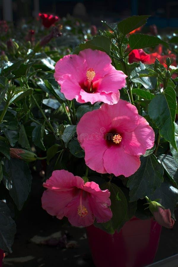 Plan rapproché rose de fleur de ketmie image libre de droits