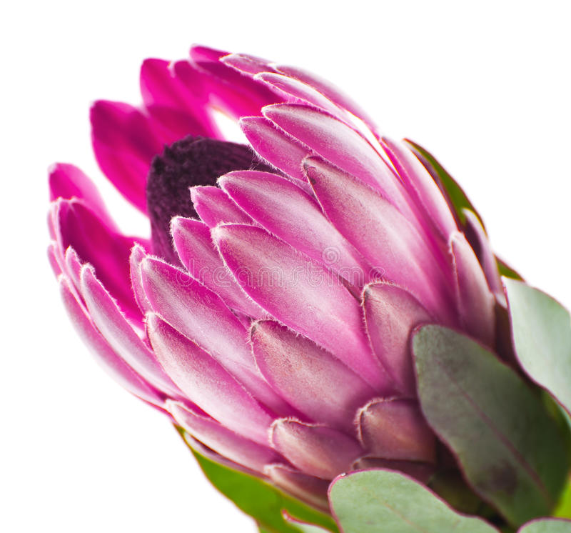 Plan rapproché rose de fleur de Protea sur un fond blanc propre photos stock