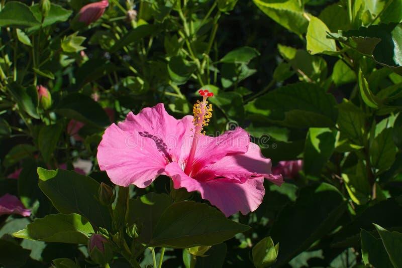 Plan rapproché rose de fleur de ketmie photo stock