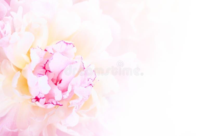 Plan rapproché rose doux de fleur de pivoine photographie stock libre de droits