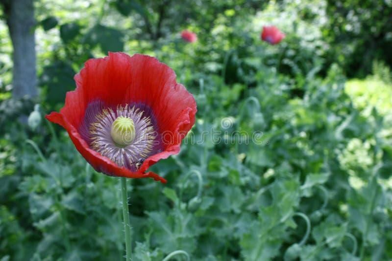 Plan rapproché rouge de fleur de pavot sur le fond brouillé vert photographie stock libre de droits