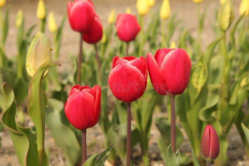 Plan rapproché rouge de trois tulipes avec des tulipes à l'arrière-plan image libre de droits
